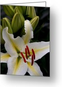 Stargazer Lilies Greeting Cards - Sounding on Forever Greeting Card by Sharon Mau