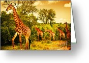 Graze Photo Greeting Cards - South African giraffes Greeting Card by Anna Omelchenko