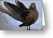 Skua Greeting Cards - South Polar Skua Greeting Card by Tony Beck