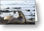 Jousting Greeting Cards - Southern Elephant Seals Sparring Greeting Card by Charlotte Main