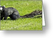 Squirrel Photographs Greeting Cards - Southern Fox Squirrel Greeting Card by Phill  Doherty