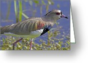 Lapwing Greeting Cards - Southern Lapwing Greeting Card by Gord Patterson