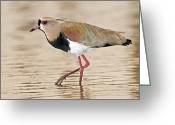 Lapwing Photo Greeting Cards - Southern Lapwing Greeting Card by Tony Camacho
