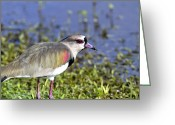 Lapwing Photo Greeting Cards - Southern Lapwing two Greeting Card by Gord Patterson
