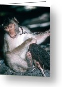 Imported Greeting Cards - Southern Pig-tailed Macaque Greeting Card by Georgette Douwma