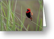 Lenght Greeting Cards - Southern Red Bishop Bird, Euplectes Greeting Card by Roy Toft