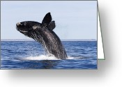 Jumping Greeting Cards - Southern Right Whale Greeting Card by Francois Gohier and Photo Researchers