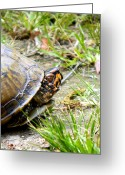 Shape Framed Prints Photo Greeting Cards - Southern Turtle Greeting Card by Ester  Rogers