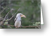 Hornbill Greeting Cards - Southern Yellow-billed Hornbill Greeting Card by Alexandra Bento