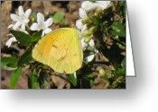 Designer Butterfly Works Photo Greeting Cards - Southern Yellow Butterfly  Greeting Card by Debra     Vatalaro