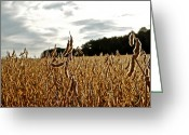 Shuck Greeting Cards - Soy Bean Meadow Greeting Card by Mackenzie Fell