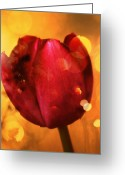Flower Photography Greeting Cards - Sparkle of the Tulip Greeting Card by Cathie Tyler
