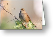 Perched Birds Greeting Cards - Sparrow Bird Perched . 40D12304 Greeting Card by Wingsdomain Art and Photography