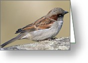 Nature Body Greeting Cards - Sparrow Greeting Card by Melanie Viola