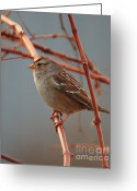Tans Greeting Cards - Sparrow on Grape Vine Greeting Card by Carol Groenen