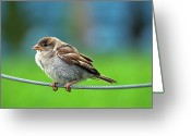 Sparrow Greeting Cards - Spatz Bird Greeting Card by Janusz Ziob