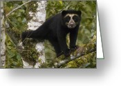Carnivores Greeting Cards - Spectacled Bear Tremarctos Ornatus Cub Greeting Card by Pete Oxford