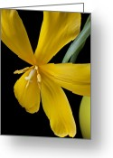 Filament Greeting Cards - Spent tulip Greeting Card by Garry Gay