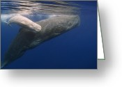 White Morph Greeting Cards - Sperm Whale Mother And White Calf Greeting Card by Flip Nicklin