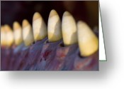 Whale Beach Greeting Cards - Sperm Whale Teeth Greeting Card by Duncan Shaw