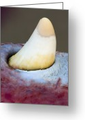 Whale Beach Greeting Cards - Sperm Whale Tooth Greeting Card by Duncan Shaw