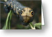 Animal Life Cycles Greeting Cards - Sphinx Moth Caterpillar Inflating Greeting Card by Darlyne A. Murawski
