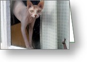 Paws Digital Art Greeting Cards - Sphynx Looks Out the Window Greeting Card by Glennis Siverson