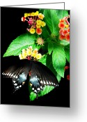 Spicebush Greeting Cards - Spice Bush Swallowtail  Greeting Card by Skip Willits
