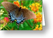 Spicebush Greeting Cards - Spicebush Swallowtail Greeting Card by Alan Lenk