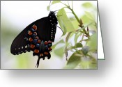 Spicebush Greeting Cards - Spicebush Swallowtail Butterfly Greeting Card by April Wietrecki