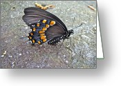 Spicebush Swallowtail Greeting Cards - Spicebush Swallowtail Butterfly Female - Papilio troilus troilus Greeting Card by Carol Senske