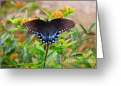 Spicebush Greeting Cards - Spicebush Swallowtail Butterfly Greeting Card by Lena Auxier