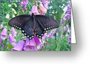 Spicebush Greeting Cards - Spicebush Swallowtail Butterfly on Foxgloves - Papilio troilus Greeting Card by Carol Senske