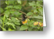 Spicebush Swallowtail Greeting Cards - Spicebush Swallowtail Butterfly on Lantana shrub verbena Greeting Card by Marianne Campolongo