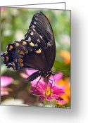 Spicebush Swallowtail Greeting Cards - Spicebush Swallowtail Greeting Card by Ekaterina LaBranche