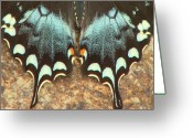 Spicebush Swallowtail Greeting Cards - Spicebush Swallowtail Hindwing Greeting Card by John Burk