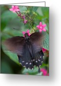 Spicebush Greeting Cards - Spicebush Swallowtail Greeting Card by Joann Vitali
