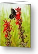 Spicebush Swallowtail Greeting Cards - Spicebush Swallowtail on Cardinal Flower Greeting Card by Thomas R Fletcher
