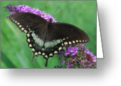 Spicebush Greeting Cards - Spicebush Swallowtail Greeting Card by Randy Bodkins