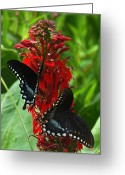 Spicebush Swallowtail Greeting Cards - Spicebush Swallowtails Visiting Cardinal Lobelia DIN041 Greeting Card by Gerry Gantt