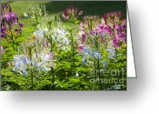 Spider Flower Greeting Cards - Spider Flower Greeting Card by Atiketta Sangasaeng