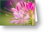 Spider Flower Greeting Cards - Spider Flower (cleome Hassleriana) Greeting Card by Maria Mosolova