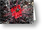 Flower Photograph Greeting Cards - Spider Lily Greeting Card by Neil McCarver