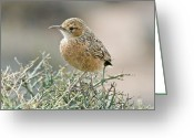 African Wildlife Greeting Cards - Spike-heeled Lark Greeting Card by Peter Chadwick
