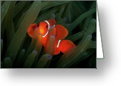 Spine Greeting Cards - Spinecheek Anemonefish Greeting Card by Alastair Pollock Photography