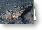 Saltwater Fish Greeting Cards - Spiny Devilfish Camouflaged Greeting Card by Steve Jones