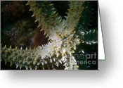 Star Points Greeting Cards - Spiny Starfish Greeting Card by Sami Sarkis