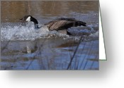 Geese Greeting Cards - Splash Down Canada Goose - c0235a Greeting Card by Paul Lyndon Phillips