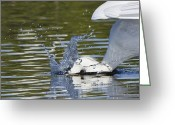 White Morph Greeting Cards - Splash Fishing Greeting Card by Mike Fitzgerald