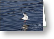 Lapwing Photo Greeting Cards - Splashdown Greeting Card by Michal Boubin